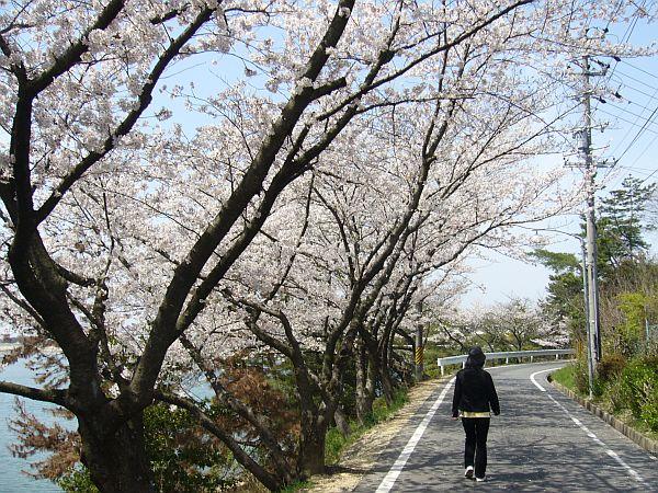 三好池の桜