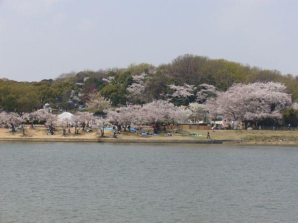 洲原池の桜